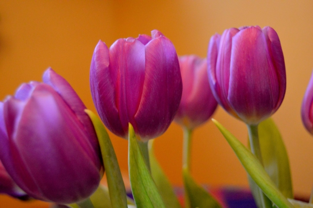 Purple Tulips 1