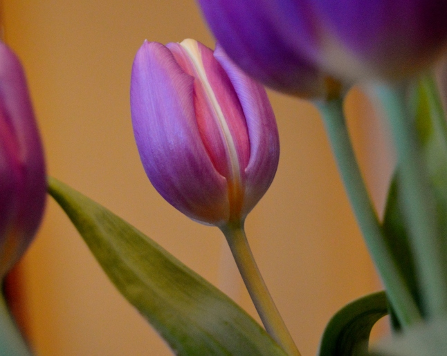 Purple Tulips 4