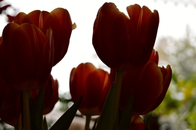 Flame Tulips 3
