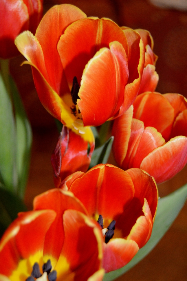 Flame Tulips 4