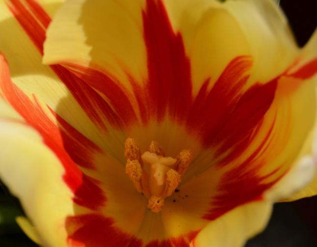 Sun Tulips 1