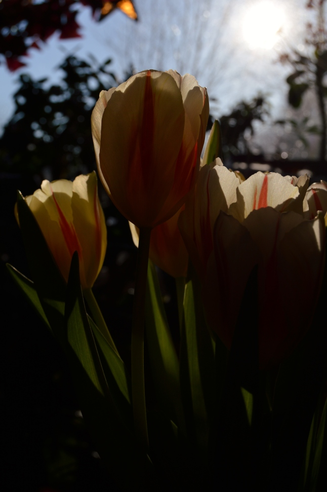 Sun Tulips 2