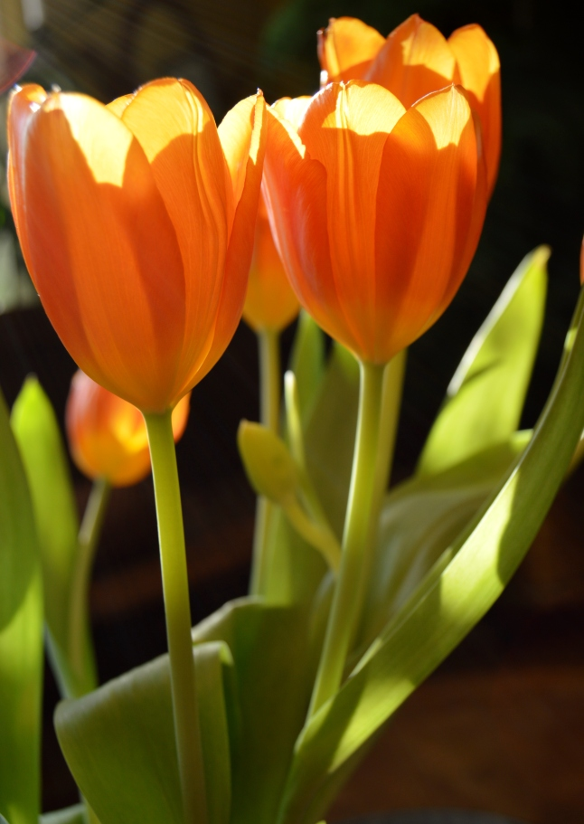 Golden Tulips 3