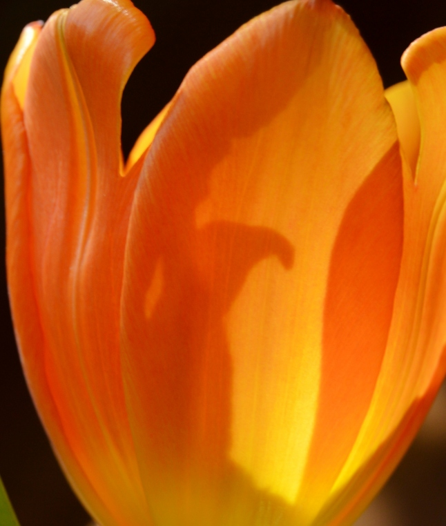 Golden Tulips 4
