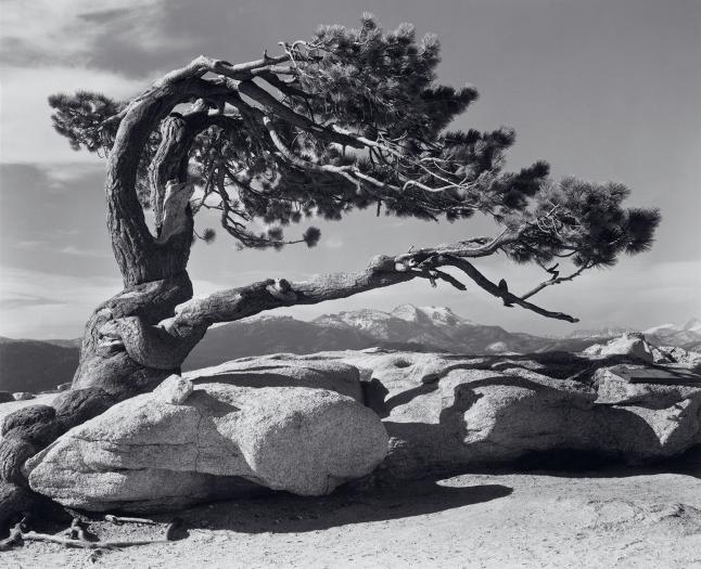 Jeffrey-Pine-ansel adams 1940